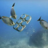 Fishes Eating the Edible Six Pack Rings Made by SaltWater