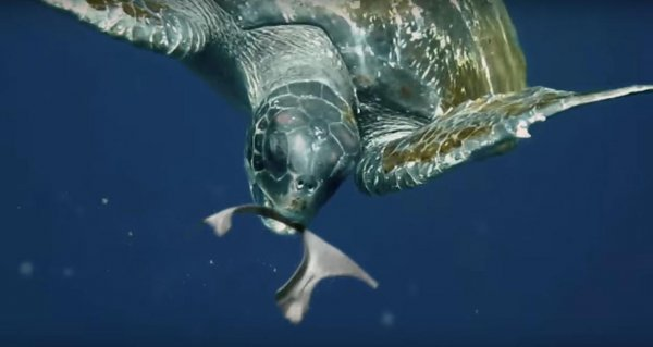 Turtle Eating the Edible Six-Pack Rings Made by SaltWater